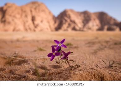desert flower wadi rum jordan giordania concept solo alone wallpaper background