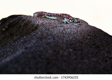 Desert gecko with fluorescent colors wildlife picture - shot taken in swakopmund deser in namibia africa