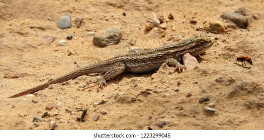 a  desert grasslands whiptail lizard in the sand, near albuquerque, new mexico