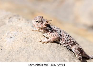 Desert Horned Lizard in Gold Butte National Monument, Nevada, USA.