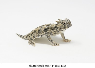 Desert Horned Lizard (Phrynosoma platyrhinos) White Background