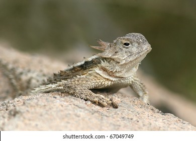 Desert Horned Lizard (Phrynosoma platyrhinos) - Sonoran Desert, Arizona