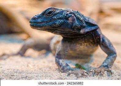 Desert Iguana Closeup. ( Dipsosaurus Dorsalis ). Common Lizards of the Sonoran and Mojave Desert.
