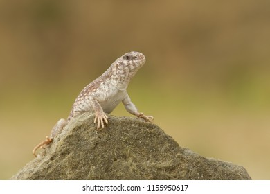 Desert iguana (Dipsosaurus dorsalis) is one of the most common lizards of the Sonoran and Mojave deserts of the southwestern United States and northwestern Mexico.