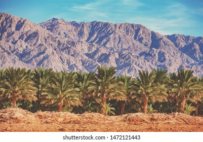 Desert in Israel at sunset. Date palm tree plantation near mount. Beautiful Israel landscape, nature. View of palm grove against Jordan mountain. Israel
