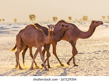 Desert landscape with camel. Sand, camel and blue sky with clouds. Travel adventure background.