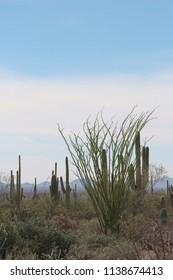 Desert landscape filled with ocotillo, creosote bushes, saguaro, prickly pear and cholla cacti  on the Desert Discovery Nature Trail in Saguaro National Park, Tuscon Mountain District, Arizona, USA