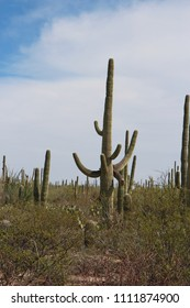 A desert landscape filled with saguaro cacti, creosote bushes, prickly pear cacti on the Desert Discovery Nature Trail in Saguaro National Park, Tuscon Mountain District, Arizona, USA