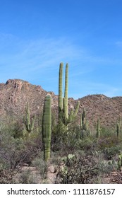 Desert landscape filled with saguaro cacti, creosote bushes, prickly pear cacti, ocotillo and more, on the Desert Discovery Nature Trail in Saguaro National Park, Tuscon Mountain District, Arizona