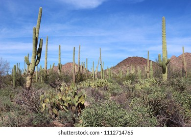 Desert landscape filled with saguaro cacti, creosote bushes, prickly pear cacti, cholla cacti  on the Desert Discovery Nature Trail in Saguaro National Park, Tuscon Mountain District, Arizona, USA
