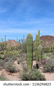 Desert landscape filled with saguaro cacti, creosote bushes, prickly pear cacti, ocotillo on the Desert Discovery Nature Trail in Saguaro National Park, Tuscon Mountain District, Arizona, USA