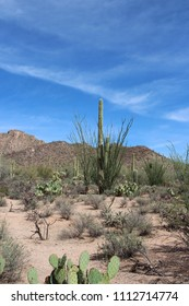Desert landscape with ocotillo growing around saguaro cacti, and creosote bushes and prickly pear cacti on the Desert Discovery Nature Trail in Saguaro National Park, Tuscon Mountain District, Arizona