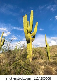 Desert Landscape - Saguaro Cactus, and cloudy blue sky at Saguaro National Park In Tucson, Arizona.