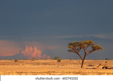 Desert landscape with a thorn tree and cloudy sky at sunset, Kalahari desert, South Africa