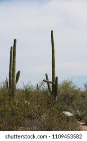 Desert landscape with unusually shaped Saguaro cacti, creosote bushes, ocotillo and prickly pear cacti on the Discovery Nature Trail in Saguaro National Park, Tuscon, Arizona, USA