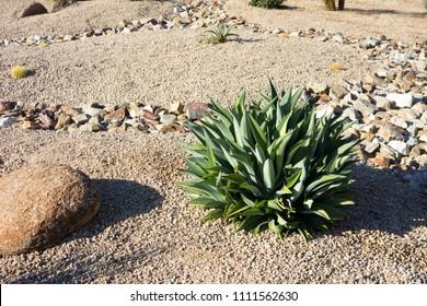 Desert landscaping with native drought tolerant Agave succulents, golden barrel cacti, natural boulder and rocks in Phoenix, Arizona