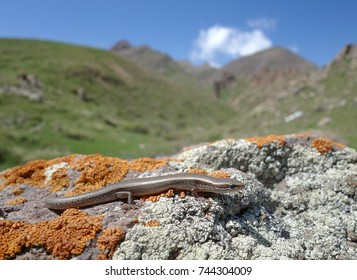 The desert lidless skink (Ablepharus deserti) is a species of skink native to Southern Kazakhstan. The Karatau Range. Kelinschektau Mountains. Karatau Nature Reserve. May 2017.