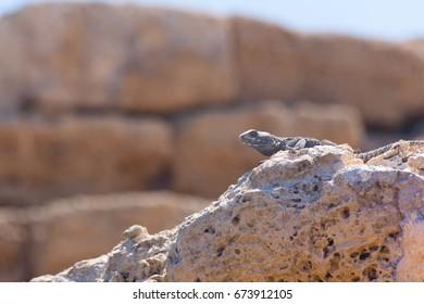 Desert lizard side portrait on hot dry stones in archaeological site roman ruins in israel