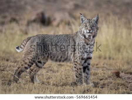 Desert Lynx Stockfoto Jetzt Bearbeiten 569661454 Shutterstock