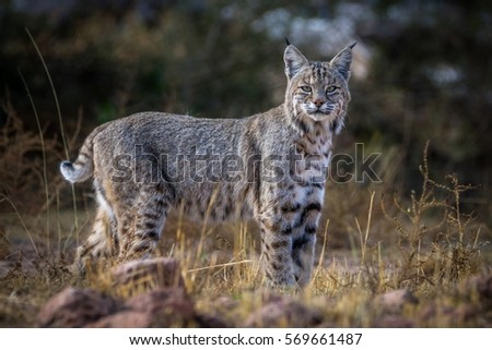 Desert Lynx Stock Photo Edit Now 569661487 Shutterstock