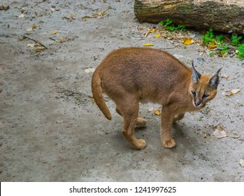 Desert lynx also know as Felis caracal standing in the sand a portrait of a big wild desert cat from egypt