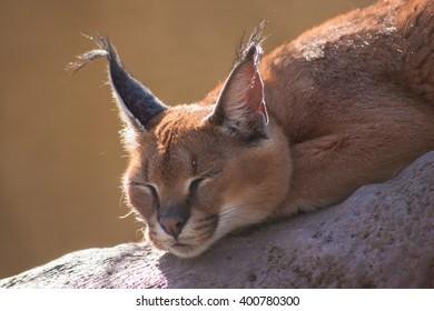 A desert lynx sleeps in the sun.