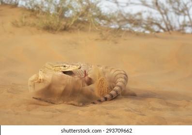 Desert monitor (Varanus griseus) threat display
