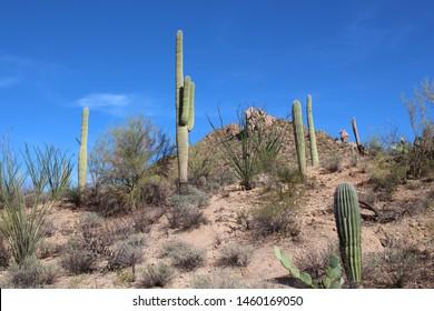A desert mountainside landscape with Saguaro Cacti, Prickly Pear, Ocotillo, Palo Verde trees and scrub brush in Saguaro National Park, Tucson, Arizona, USA
