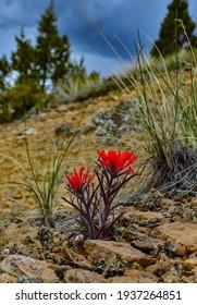 Desert paintbrush (Castilleja chromosa), Wild plants and flowers, flora of the state of Utah. Red flowers, Utah wildlife, USA