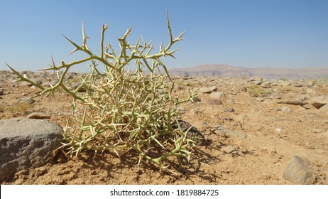 Desert plant. Camel thorn plant. Green bush in the desert. Green grass on dried ground. Desert soil. Desert landscape in summer - Shutterstock ID 1819884725