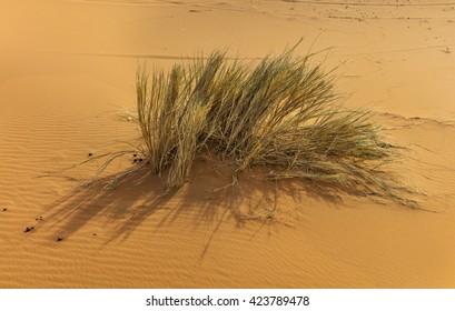 Desert plant in Erg Chebby dunes, Merzouga, Morocco