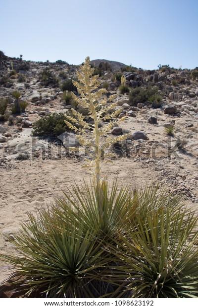Desert Plants Found Anzaborrego Desert Region Stock Photo Edit