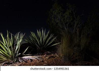Desert plants at night lit with a flashlight. Sedona, AZ, USA.
