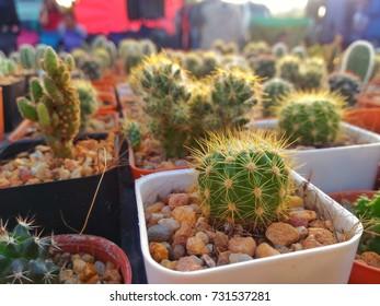 Desert plants in pots