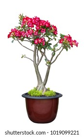 Desert Rose, Adenium tree is in a earthen pot, isolate on white background with clipping path. flower white background.