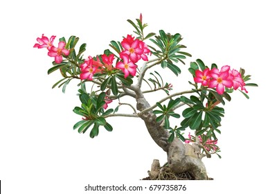 Desert Rose, Adenium tree, Isolated on white background with clipping path.