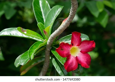 The desert rose is known as Adenium obesum, or the  adenium.