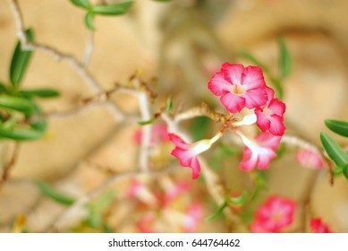 Desert Rose Tropical flower on a tree or Pink adenium in the garden.