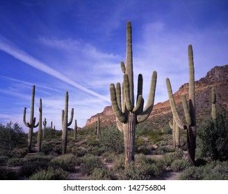 Desert saguaro cactus from the very young to the 200 year old kind/saguaro cactus/High on the sonoran desert stands the largest cactus in the world, the saguaro.