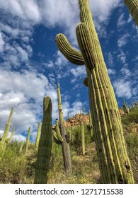 Desert saguaros in the Sonoran Desert of Tucson.