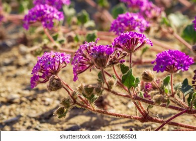 Desert sand Verbena or hairy sand Verbena wildflower at Anza Borrego Desert State Park, CA, USA
