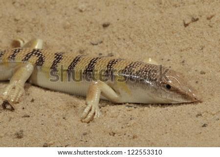 Desert Sandfish Stock Photo Edit Now 122553310 Shutterstock