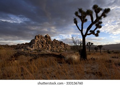 Desert scene with tree in golden light with beautiful sky, photographed in Joshua Tree National Park