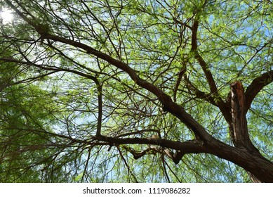 desert shade tree in hot sun of Yuma, Arizona, USA