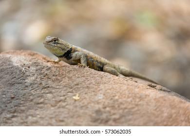 Desert Spiny Lizard (Sceloporus magister). Zion National Park, Utah, USA