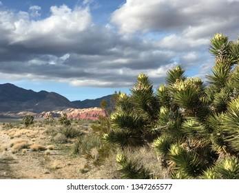 Desert spring Joshuas