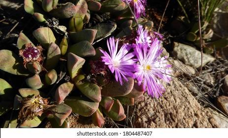Desert Succulent Plant with Light Pink Mesemb Flowers, Little Karoo, South Africa