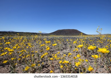 Desert Sunflower blooming in Amboy Crater, Mojave Trails National Monument, CA