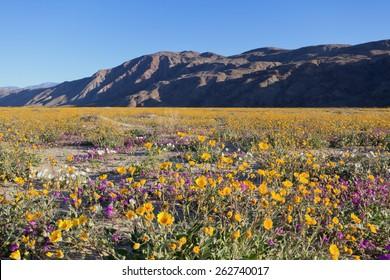 Desert Sunflower (yellow), Dune Primrose (White), and Desert Sand Verbena (Pink) are blooming in spring, Anza Borrego Desert State Park, California.