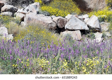 Desert sunflowers, with purple Lupines, and yellow Tidy Tips backed by rock formations at Anza Borrego, California during springtime.